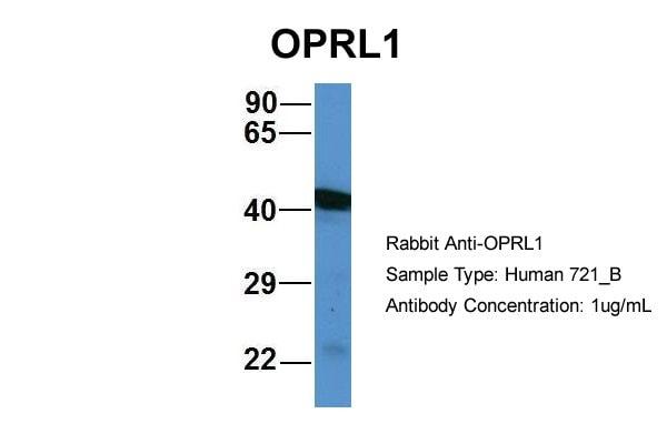 OPRL1 Antibody in Western Blot (WB)