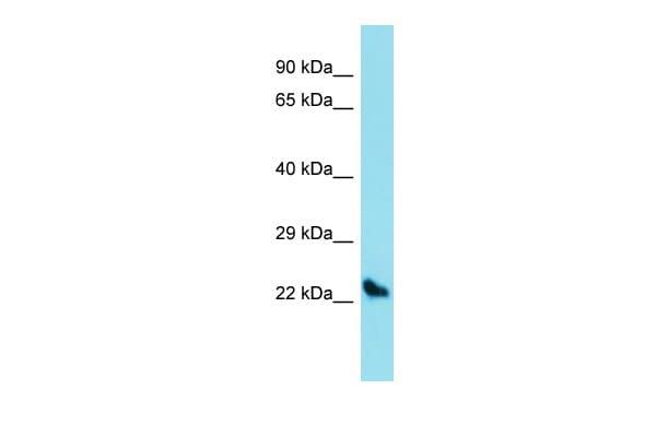 Sostdc1 Antibody in Western Blot (WB)