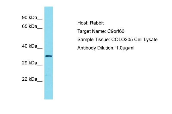 C9orf66 Antibody in Western Blot (WB)