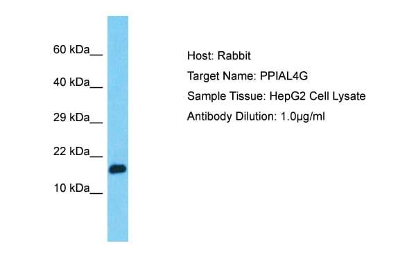 PPIAL4G Antibody in Western Blot (WB)