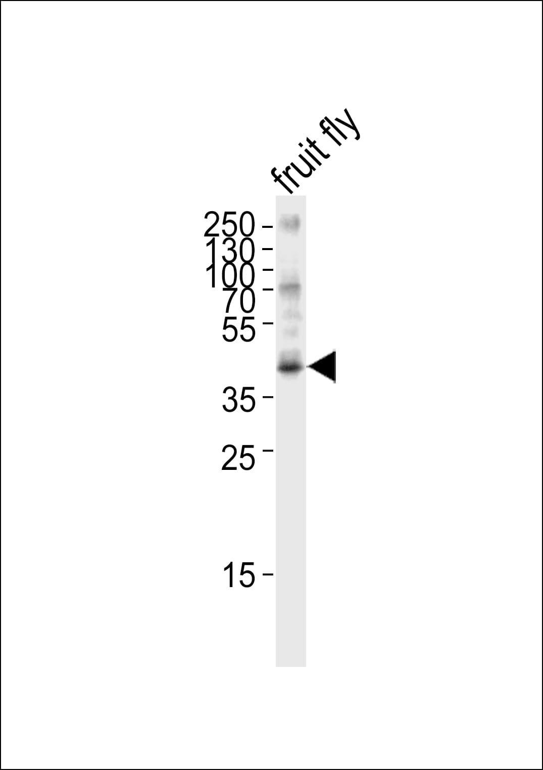 Bub3 Antibody in Western Blot (WB)
