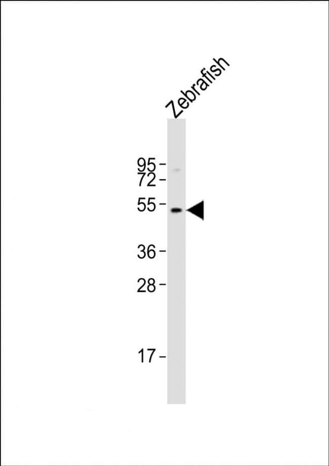 WNT8B Antibody in Western Blot (WB)