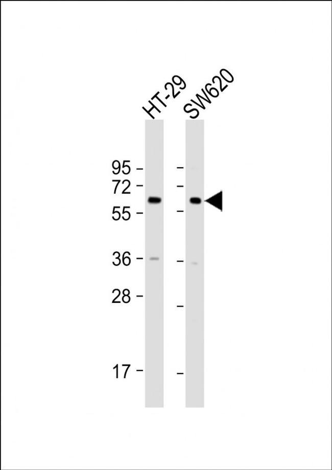 CHRM3 Antibody in Western Blot (WB)