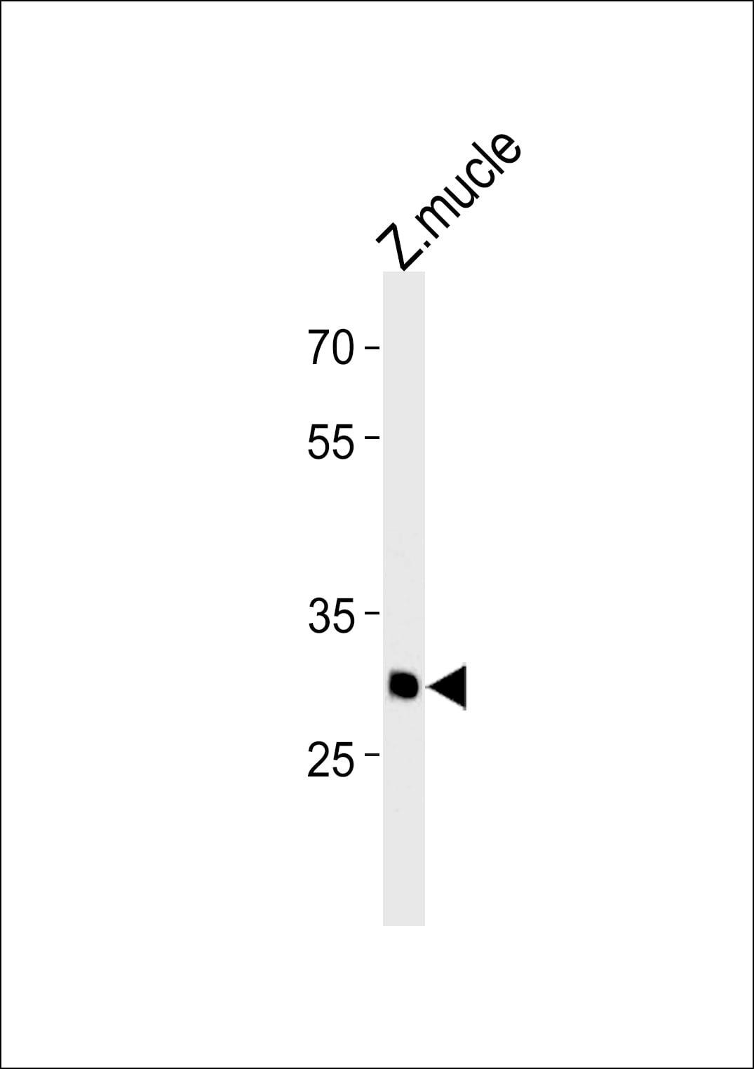 HMX3 Antibody in Western Blot (WB)