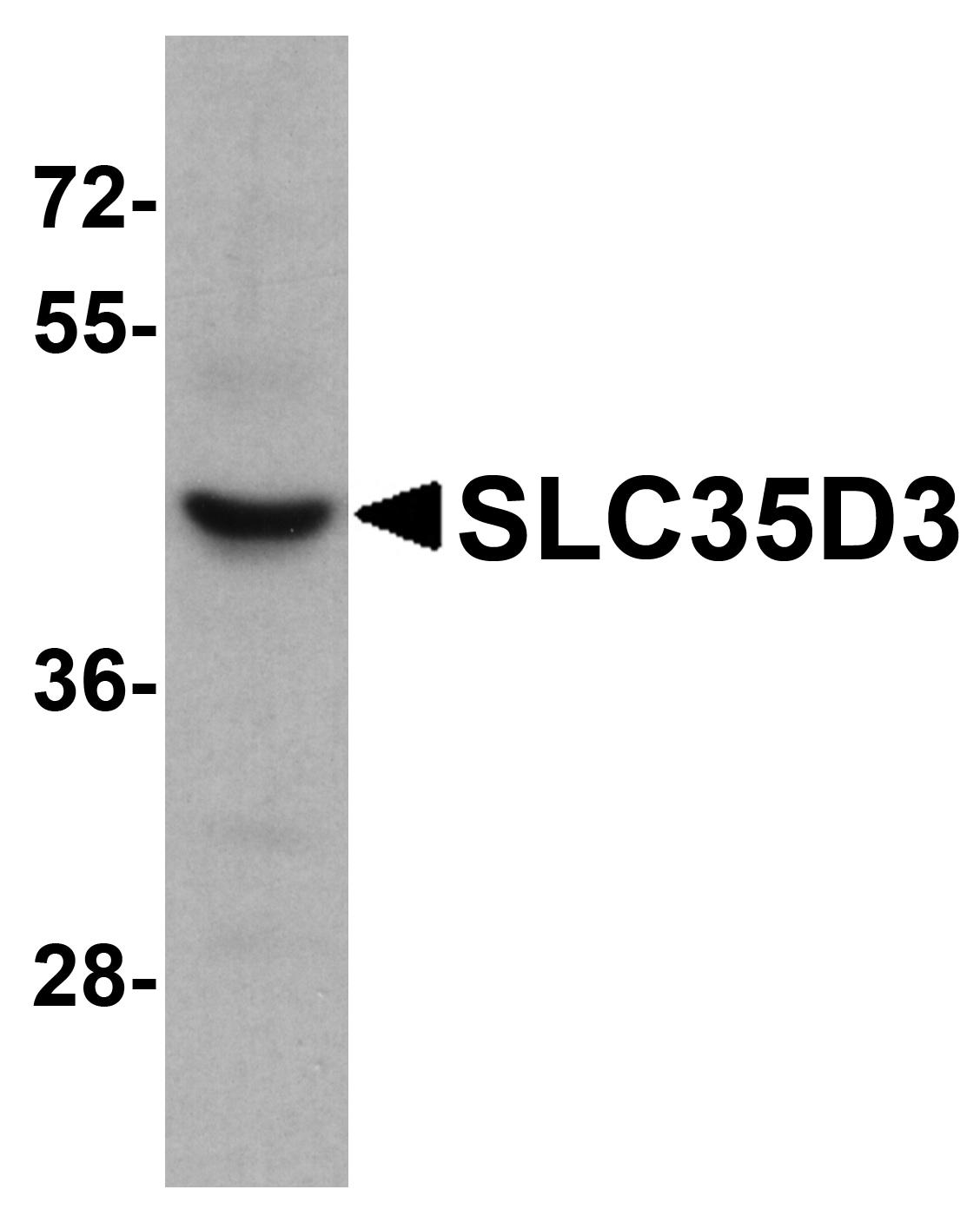 SLC35D3 Antibody in Western Blot (WB)