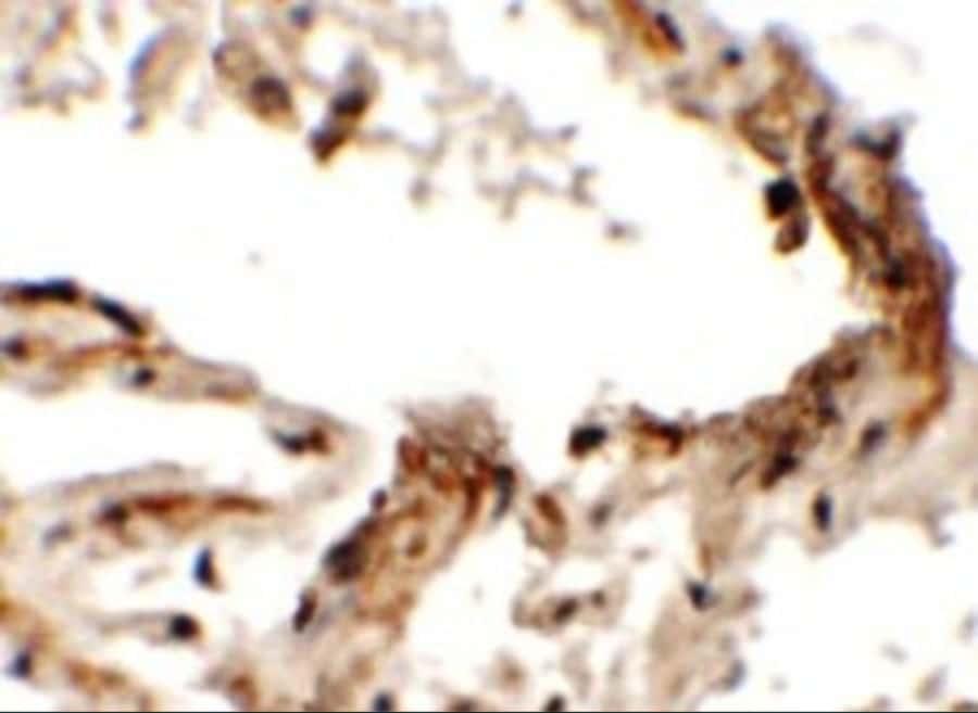 EMX2 Antibody in Immunohistochemistry (Paraffin) (IHC (P))