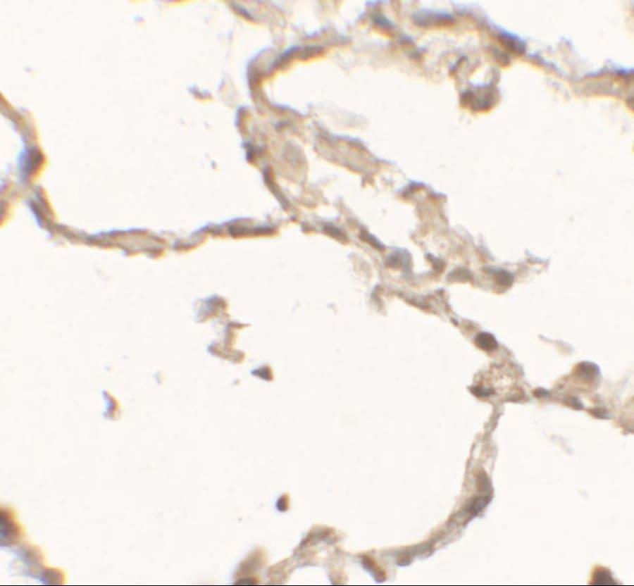 DOPA Decarboxylase Antibody in Immunohistochemistry (Paraffin) (IHC (P))