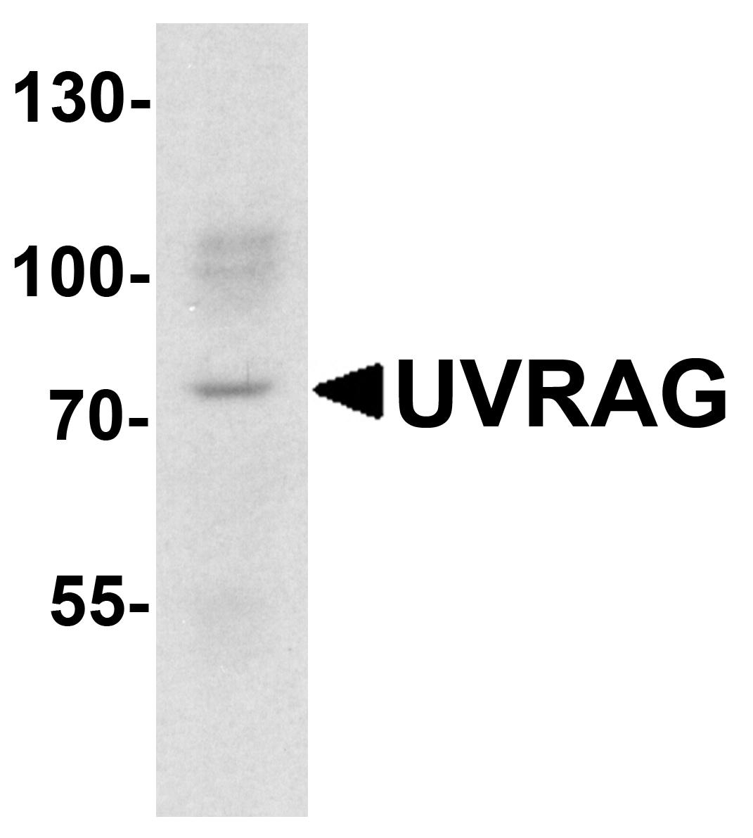 UVRAG Antibody in Western Blot (WB)