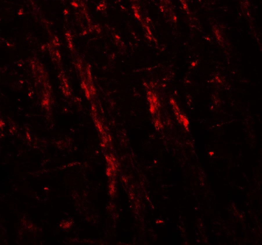 Neuroligin 2 Antibody in Immunofluorescence (IF)