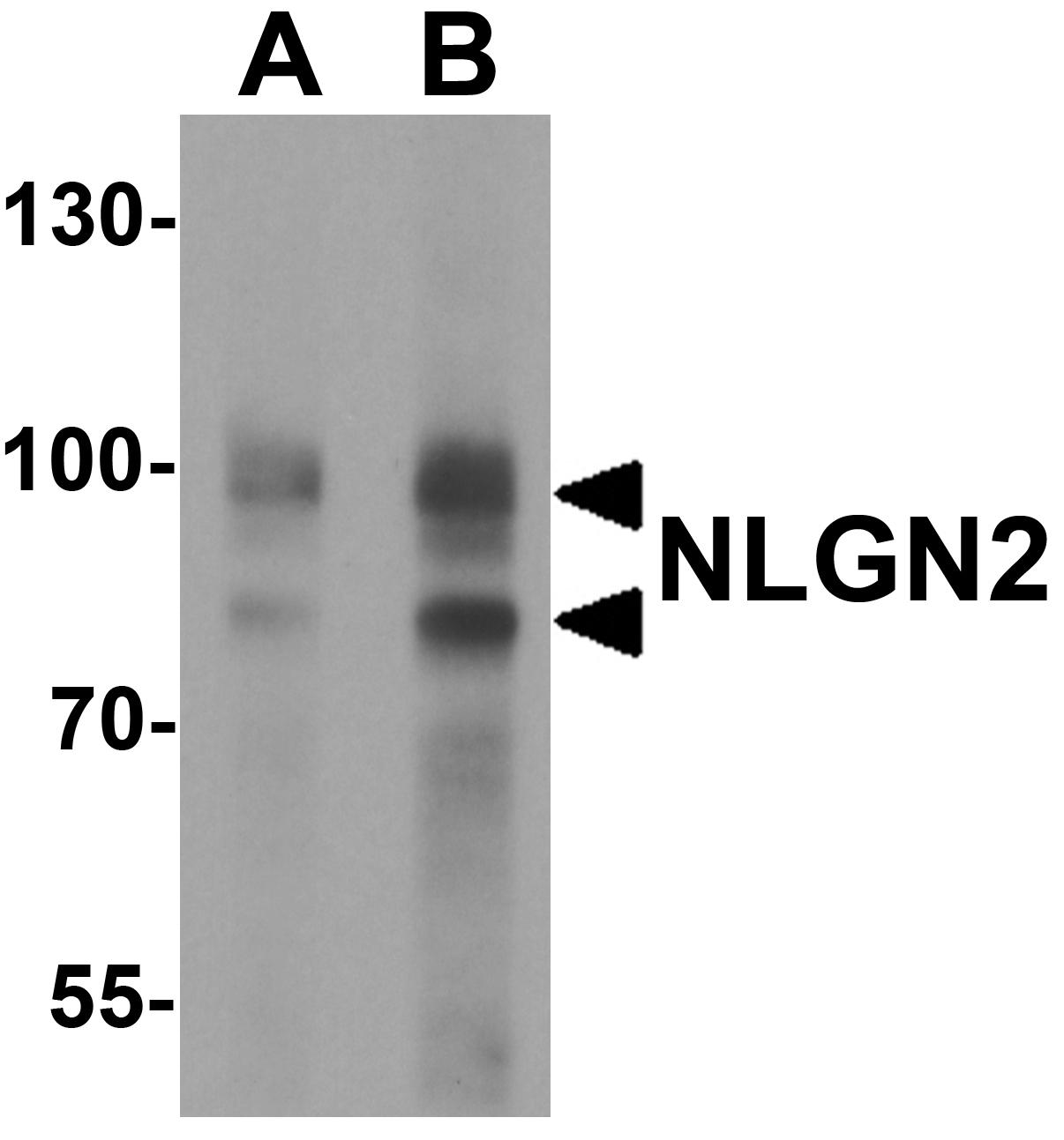 Neuroligin 2 Antibody in Western Blot (WB)