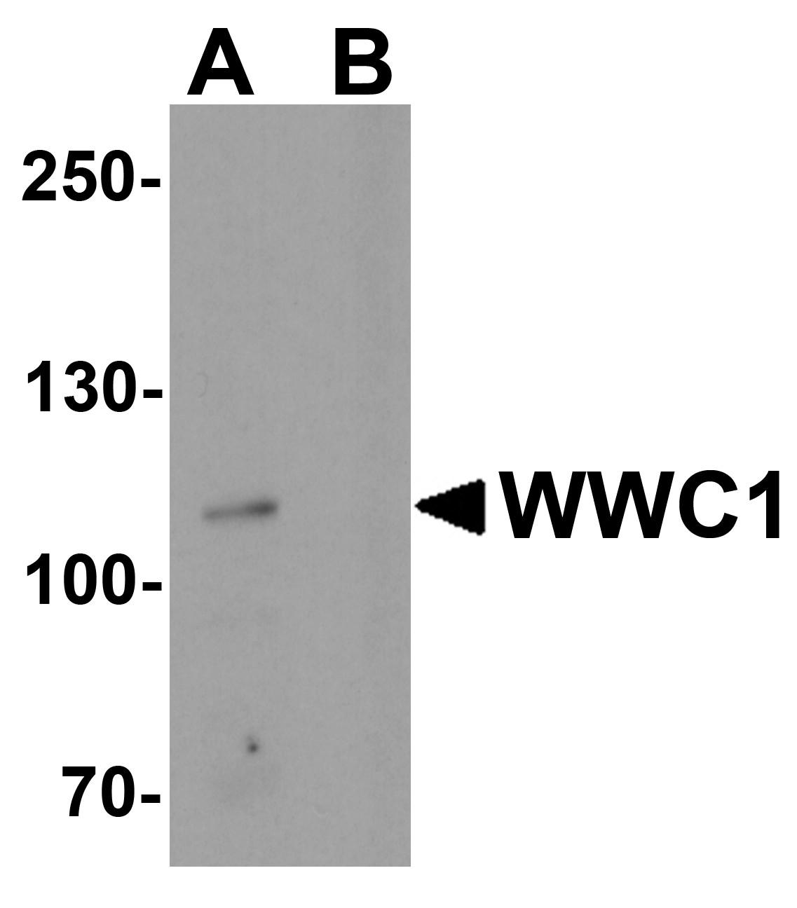 WWC1 Antibody in Western Blot (WB)