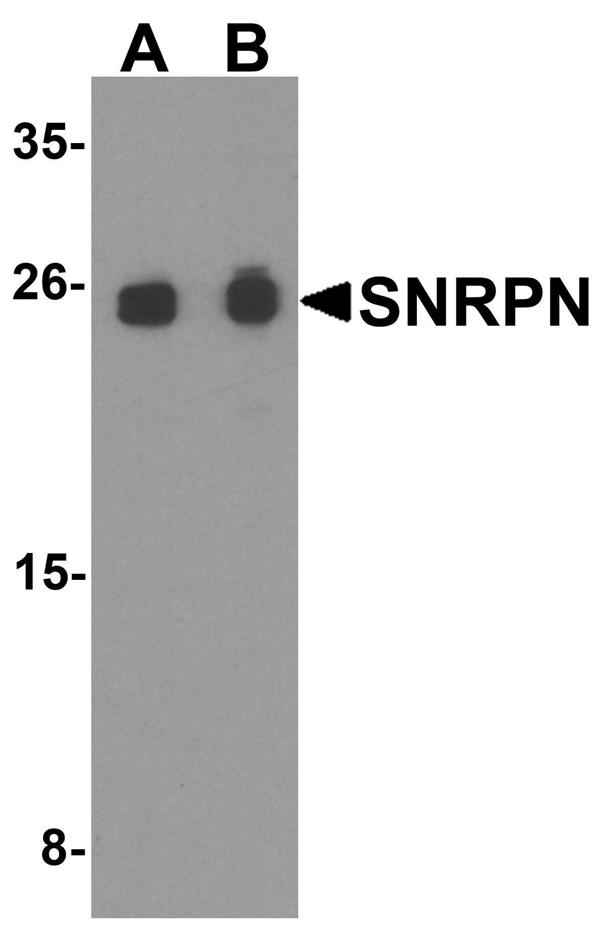 SNRPN Antibody in Western Blot (WB)