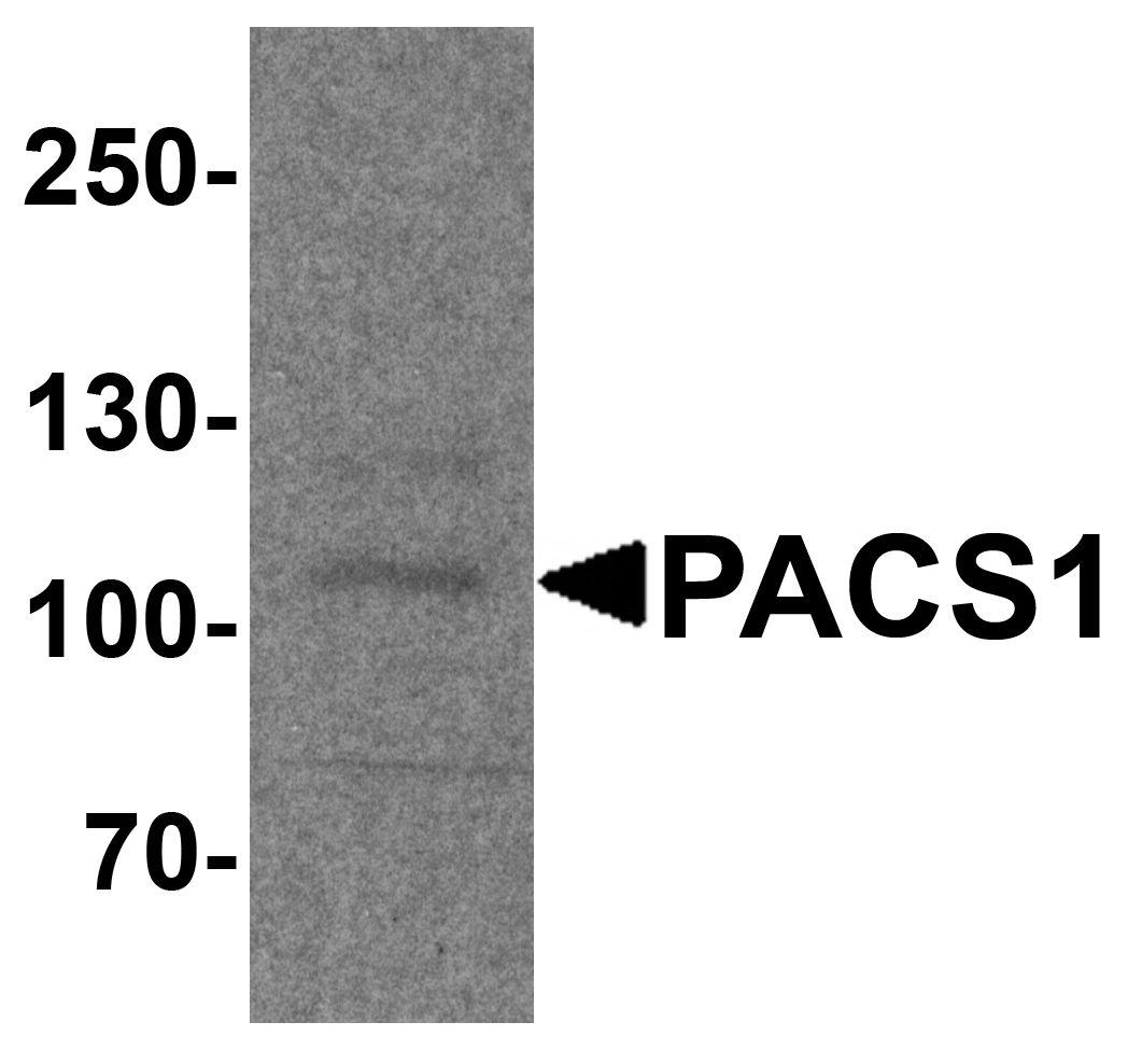 PACS1 Antibody in Western Blot (WB)