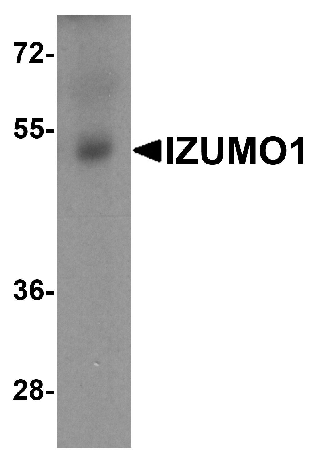 IZUMO1 Antibody in Western Blot (WB)