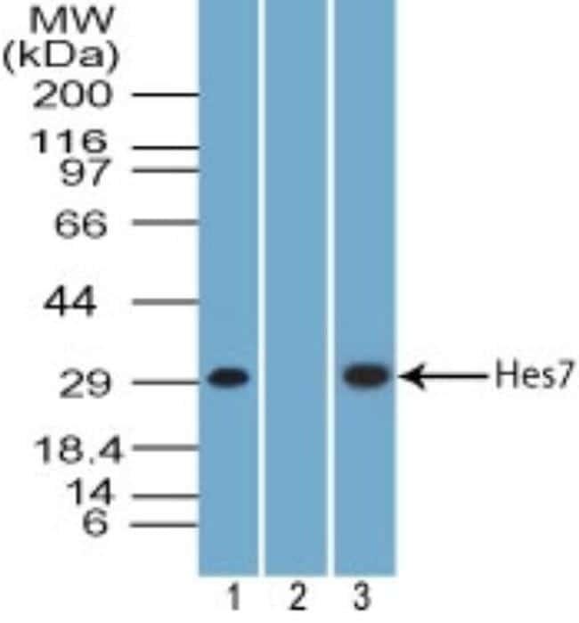 HES7 Antibody in Western Blot (WB)