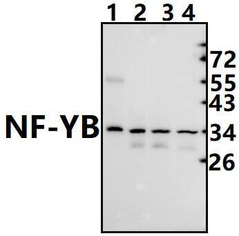 NFYB Antibody in Western Blot (WB)