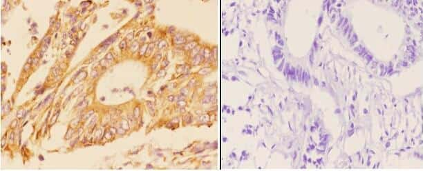 Adenylate Cyclase 5/6 Antibody in Immunohistochemistry (Paraffin) (IHC (P))