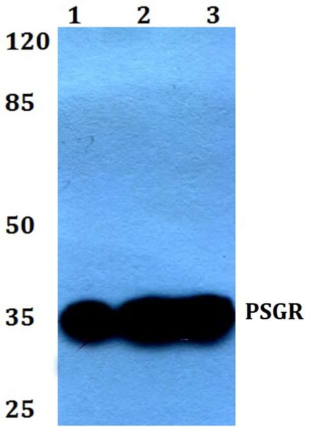 PSGR Antibody in Western Blot (WB)