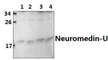 Neuromedin U-8 Antibody in Western Blot (WB)