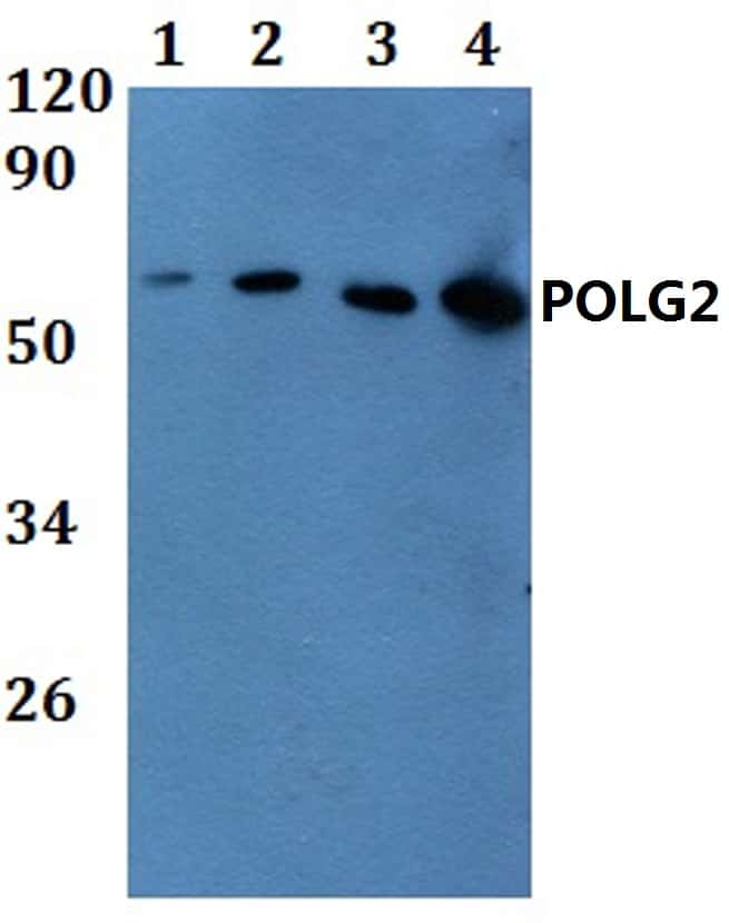 POLG2 Antibody in Western Blot (WB)