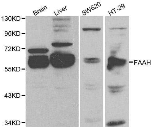 FAAH Antibody in Western Blot (WB)