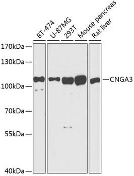 CNGA3 Antibody in Western Blot (WB)