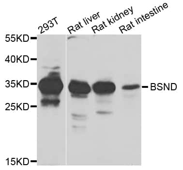BSND Antibody in Western Blot (WB)