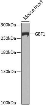 GBF1 Antibody in Western Blot (WB)