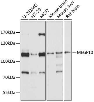 MEGF10 Antibody in Western Blot (WB)