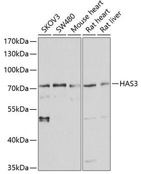 HAS3 Antibody in Western Blot (WB)