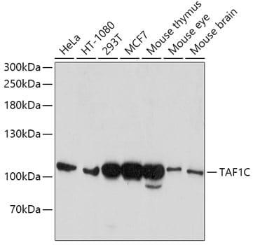 TAF1C Antibody in Western Blot (WB)