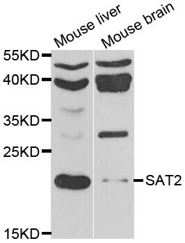 SAT2 Antibody in Western Blot (WB)