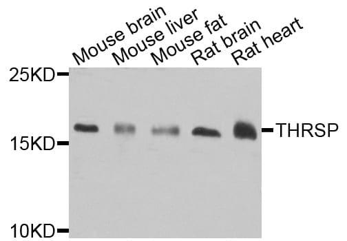 THRSP Antibody in Western Blot (WB)