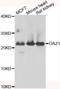 OAZ1 Antibody in Western Blot (WB)