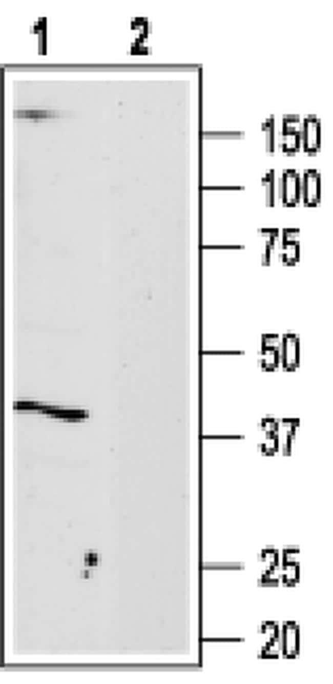 ADORA3 Antibody in Western Blot (WB)