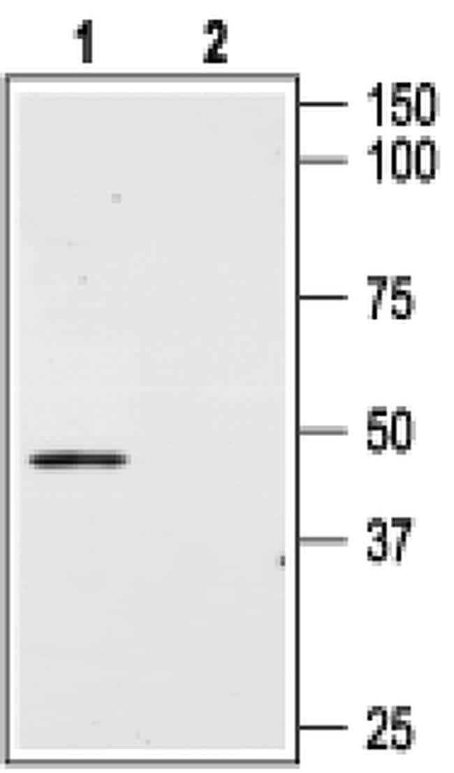 AGTR2 (extracellular) Antibody in Western Blot (WB)
