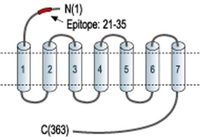 AGTR2 (extracellular) Antibody