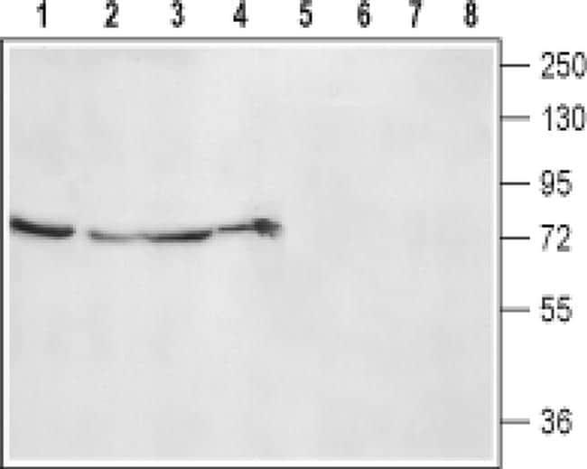 alpha-2b Adrenergic Receptor (extracellular) Antibody in Western Blot (WB)