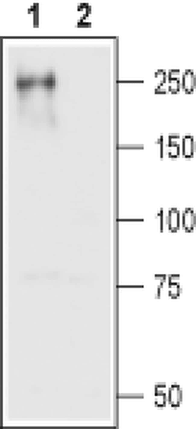 CaV1.2 Antibody in Western Blot (WB)