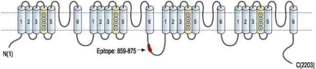 CaV1.3 Antibody