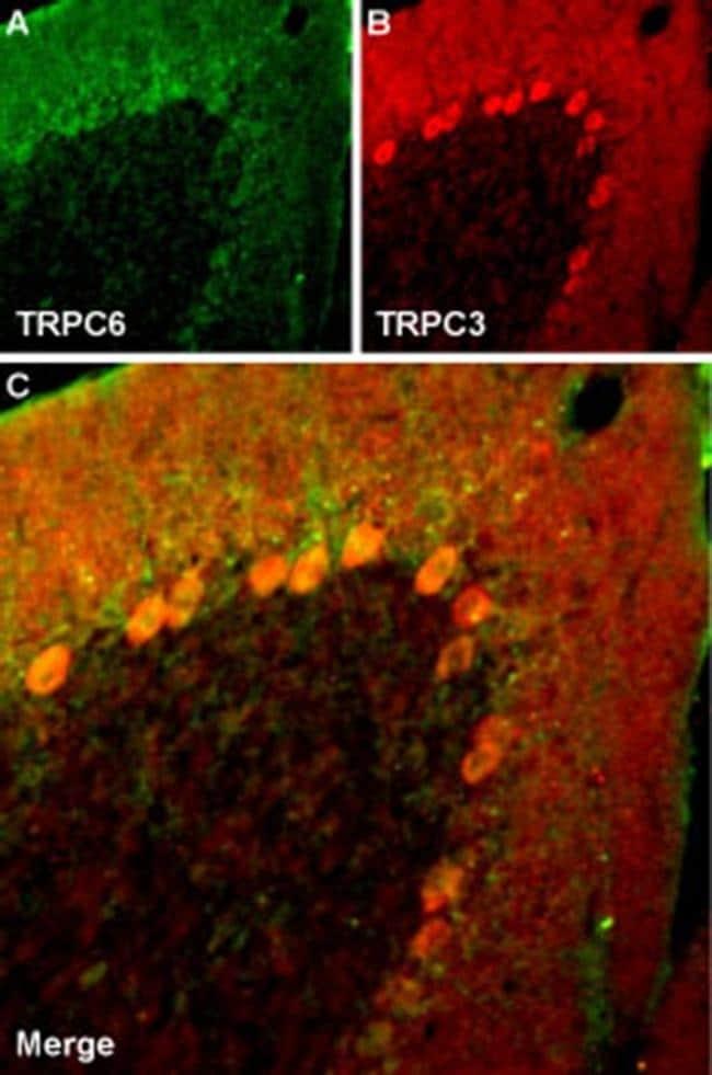 TRPC3 Antibody in Immunohistochemistry (Frozen) (IHC (F))