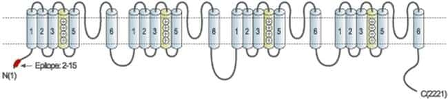 CaV1.2 Antibody