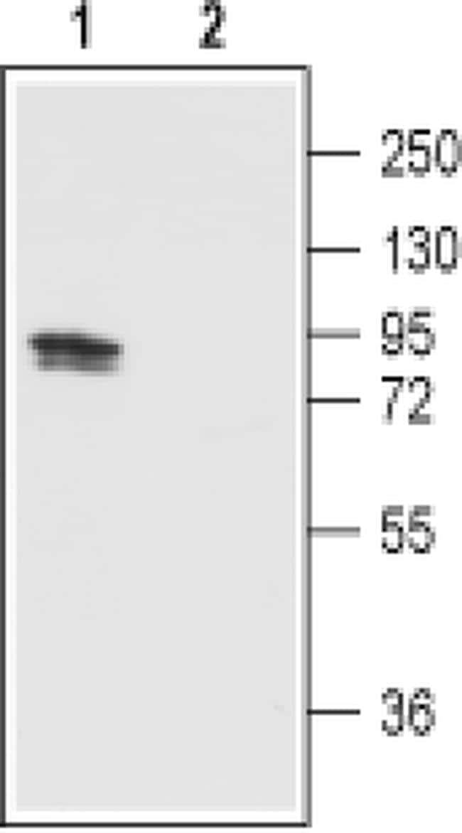 TRPV1 (extracellular) Antibody in Western Blot (WB)