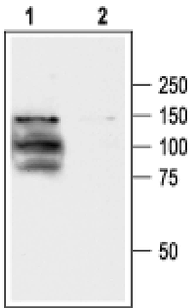 TRPV1 Antibody in Western Blot (WB)