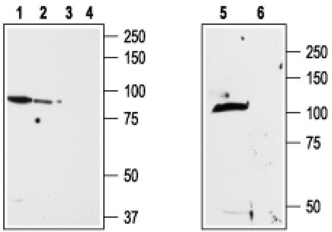 TRPV2 (extracellular) Antibody in Western Blot (WB)