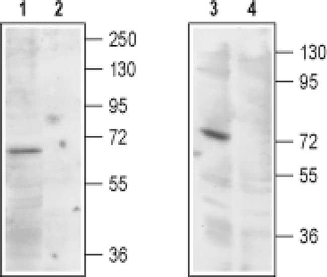 TRPML1 Antibody in Western Blot (WB)