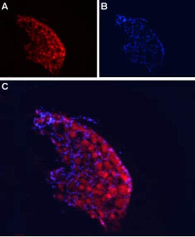 CACNA2D4 (extracellular) Antibody in Immunohistochemistry (Frozen) (IHC (F))