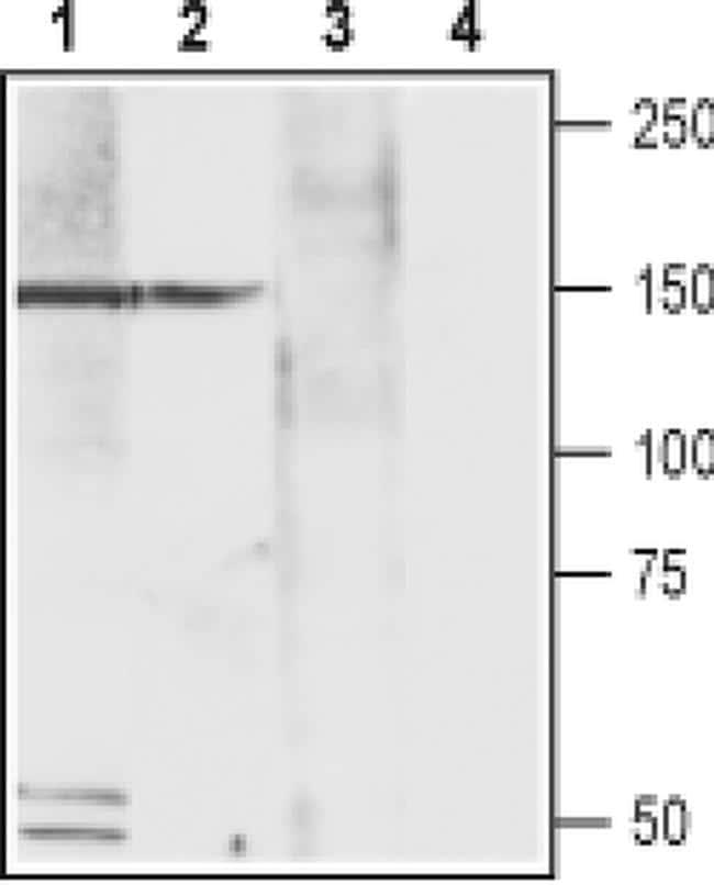 CACNA2D4 (extracellular) Antibody in Western Blot (WB)
