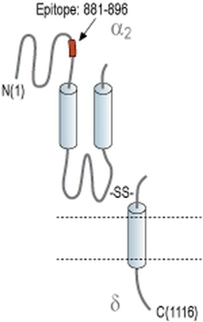 CACNA2D4 (extracellular) Antibody