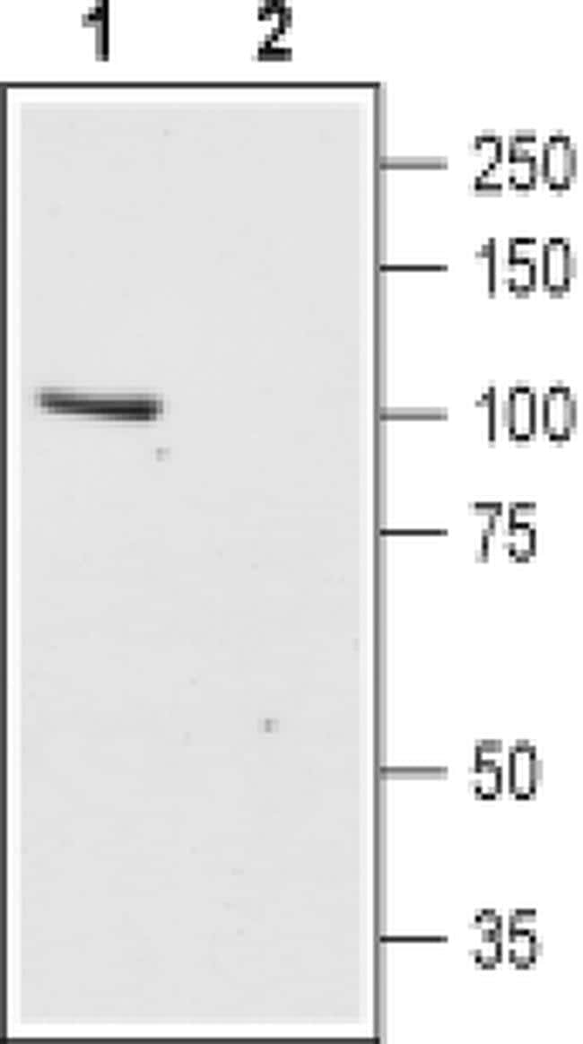 TRPC6 (extracellular) Antibody in Western Blot (WB)